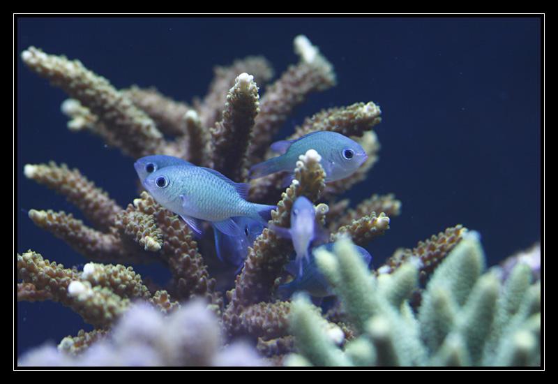 photos de poissons et coraux  - Page 3 Mg5744
