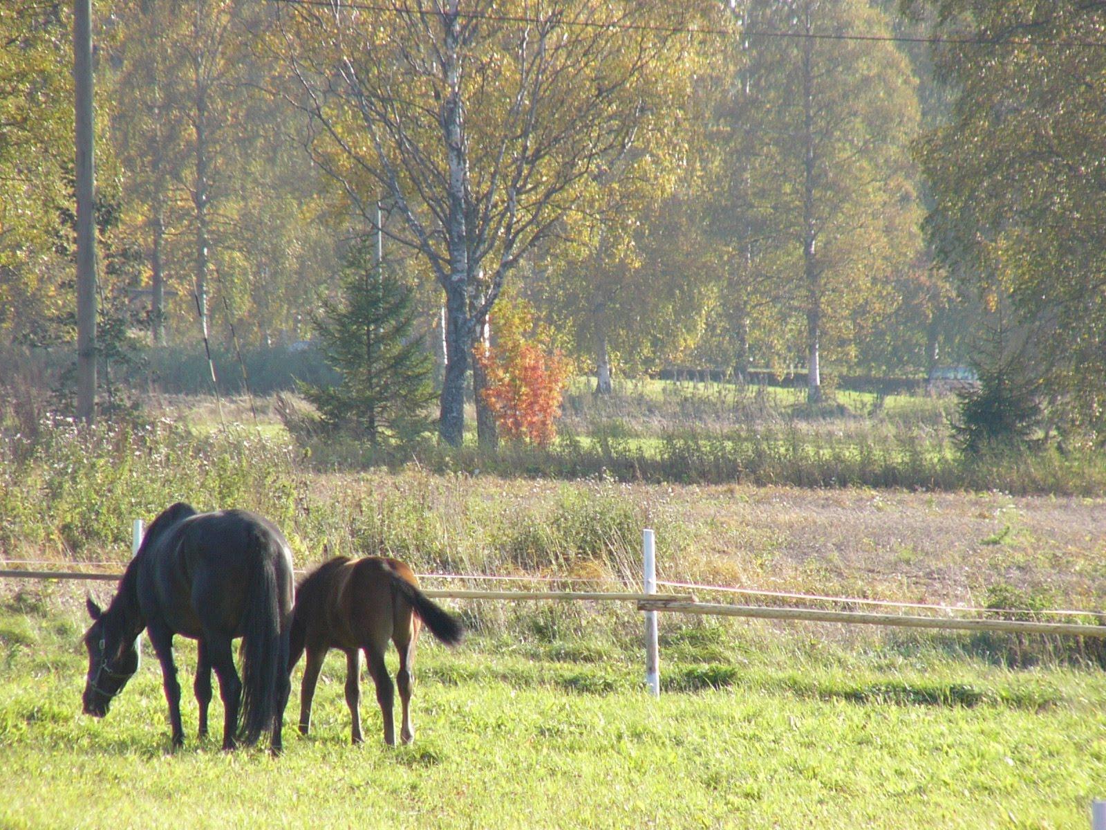 Hình nền ngựa Horses8