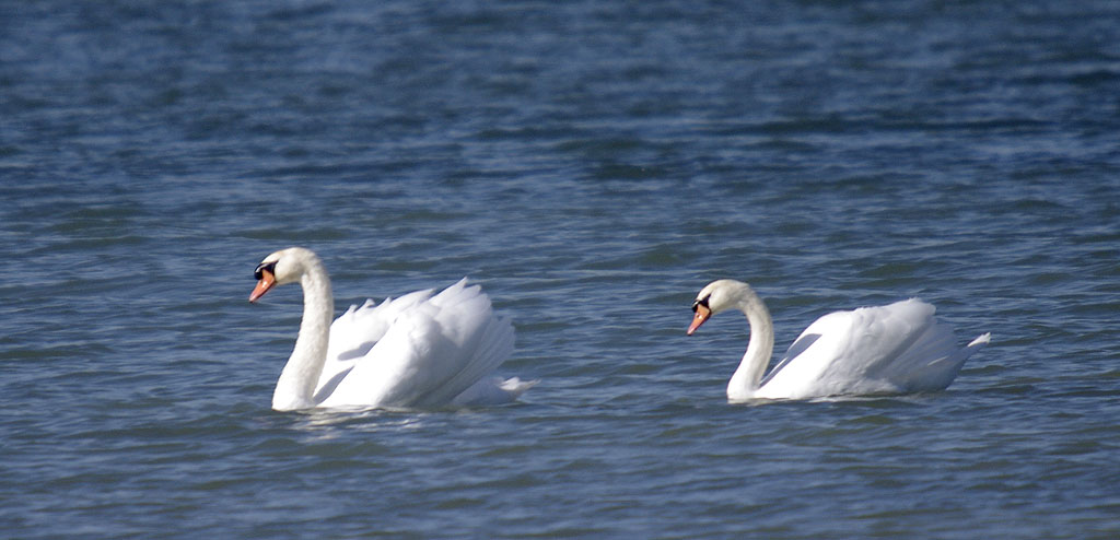 Rencontre Lac du Der 9 et 10 octobre 2010 (Sortie annuelle) - III - Page 20 Cygnes