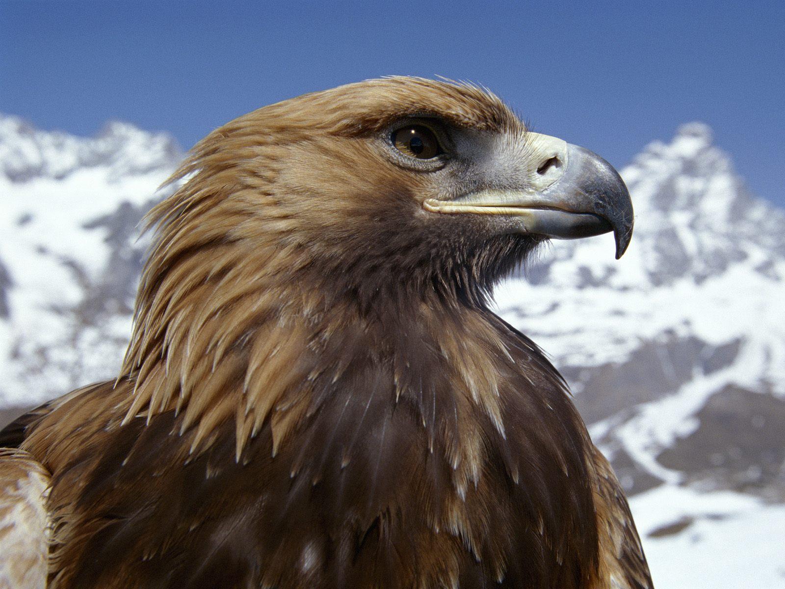 Hình nền Đại Bàng Eagles6