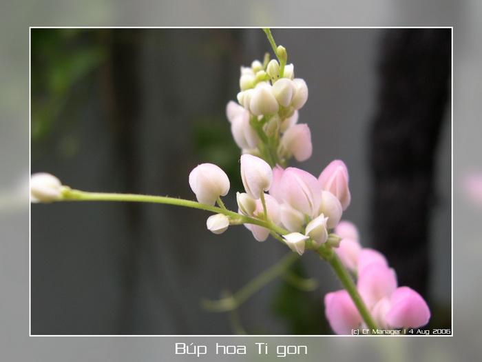 Hoa Ti Gôn Hoatigon06