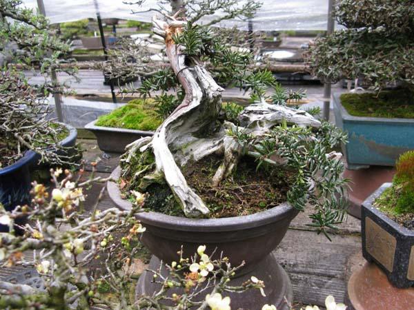 Centro bonsai tenerife en JAPÓN 2009-2010, IIIª Parte 114yt