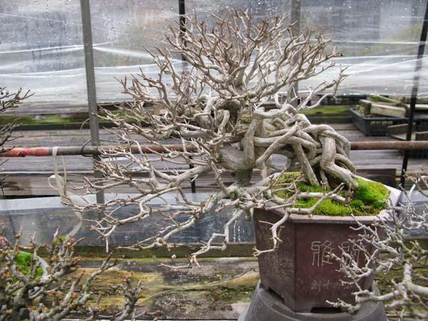 Centro bonsai tenerife en JAPÓN 2009-2010, IIIª Parte 108pl