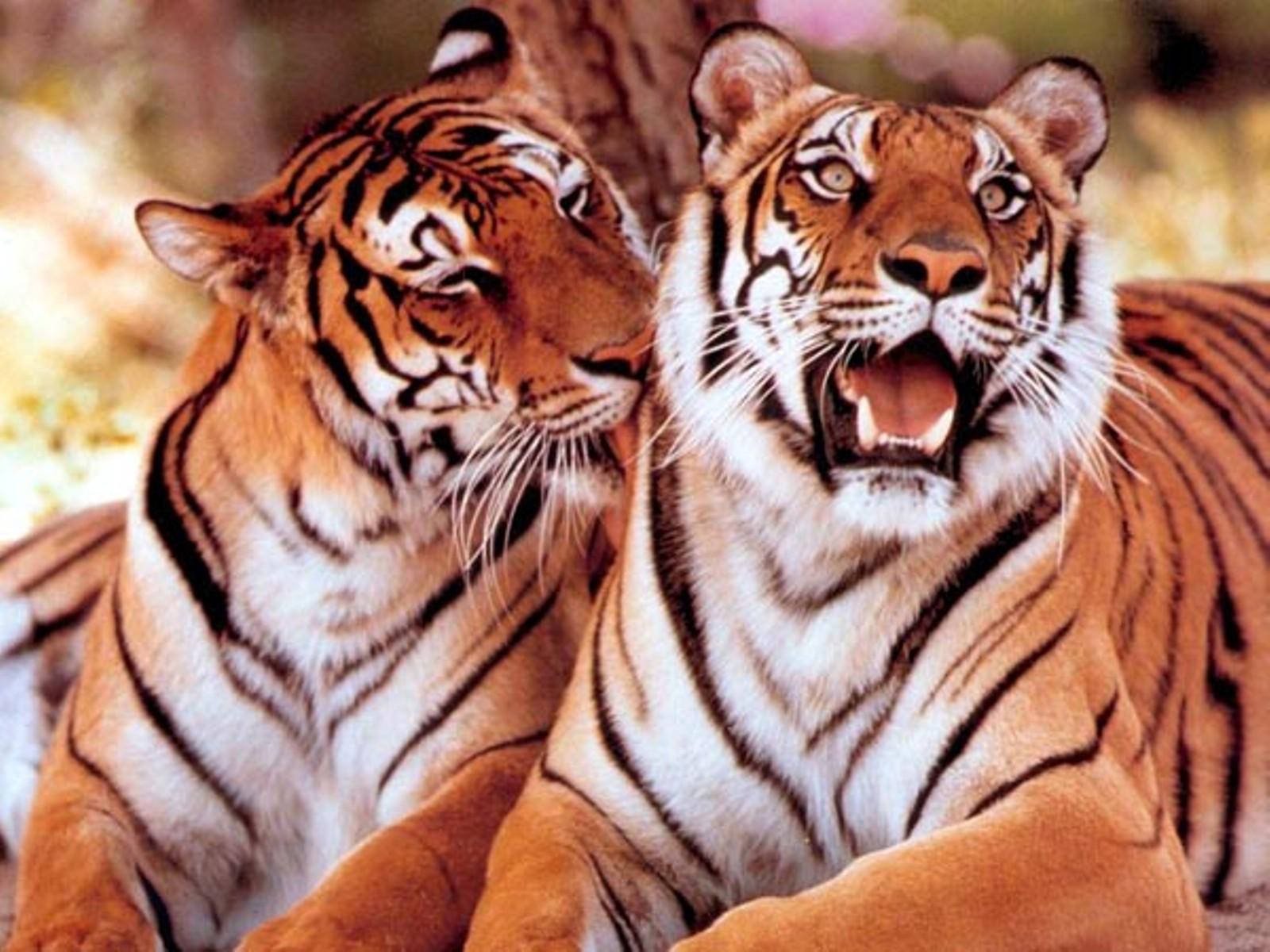 Hình nền cọp Tiger8