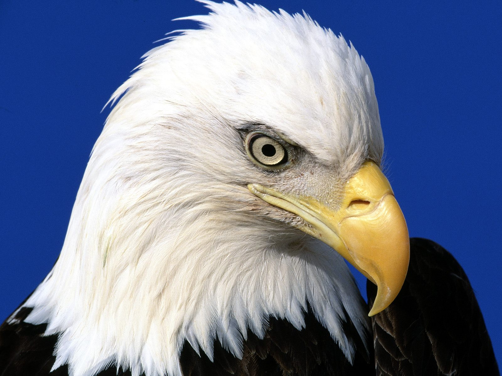 Hình nền Đại Bàng Eagles3d
