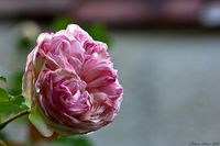 rosa bienvenue Mg91332.th