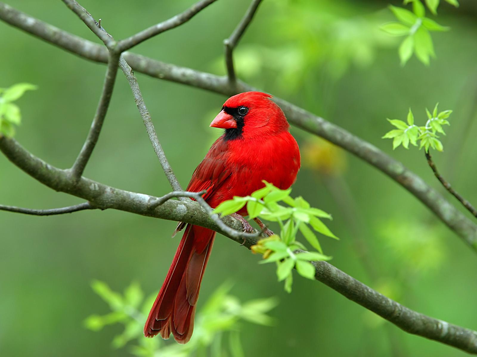 Hình nền Chim 02redwildbird