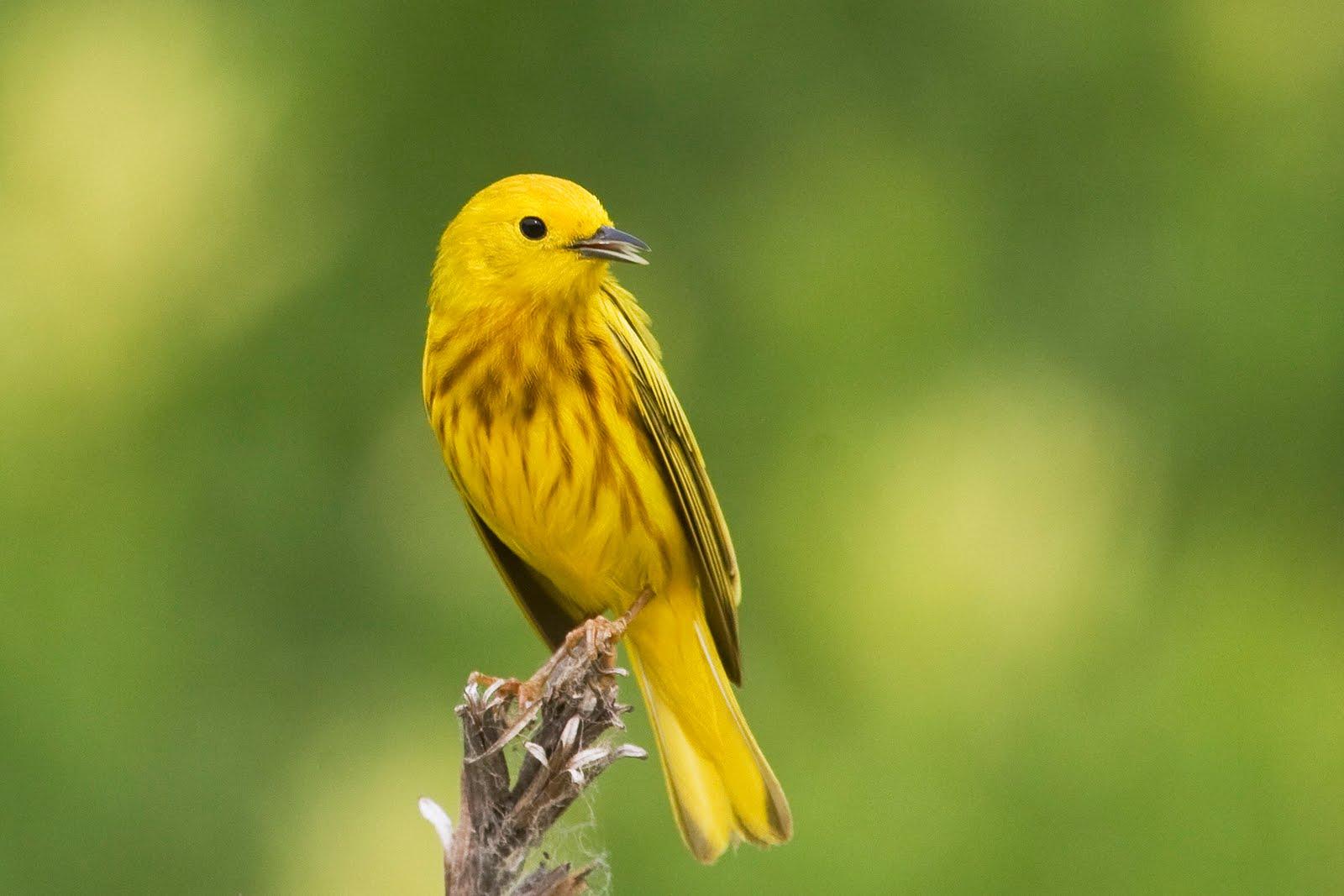 Hình nền Chim 03yellowwarblerbird