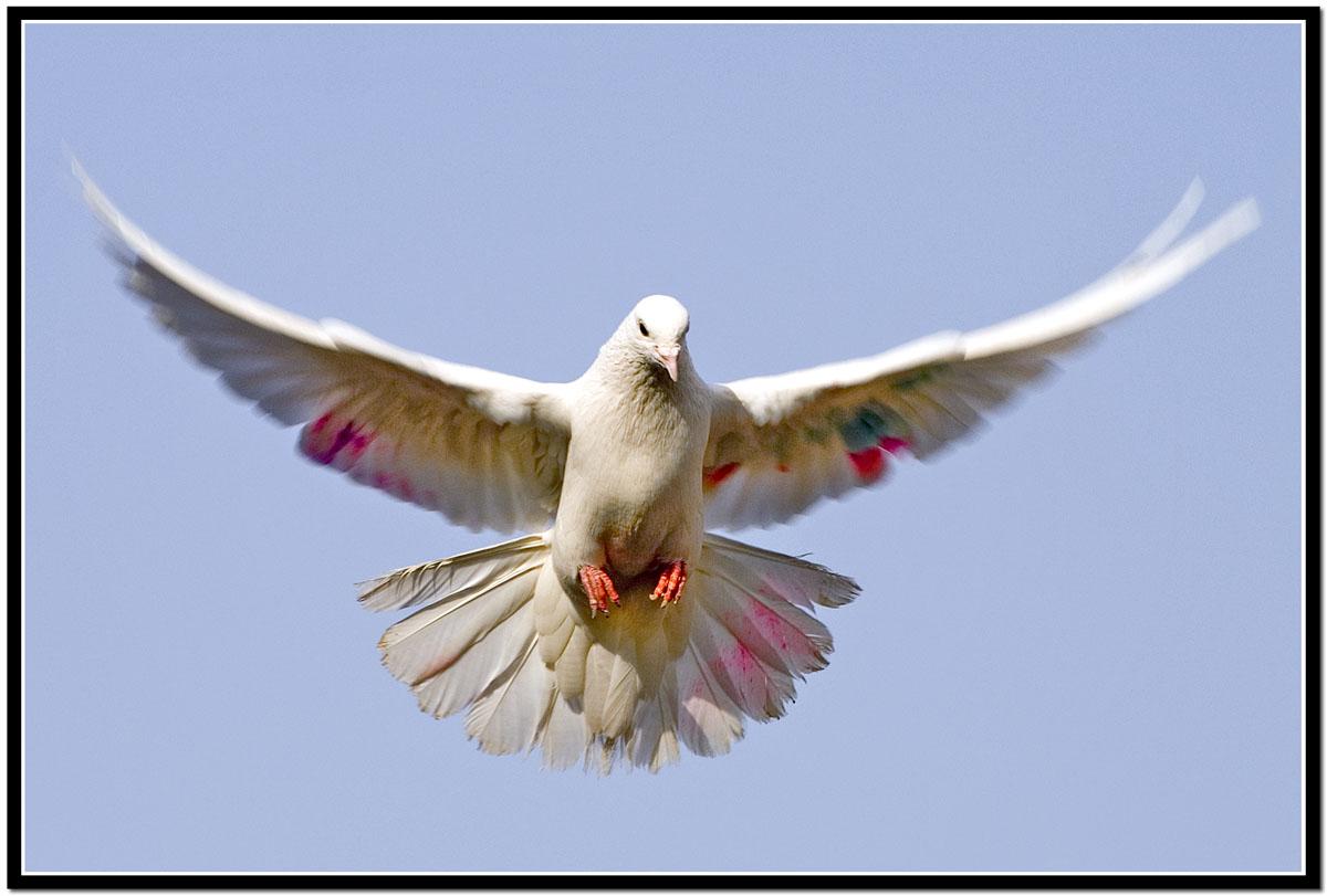 Hình nền Chim 12beautifulpigeon