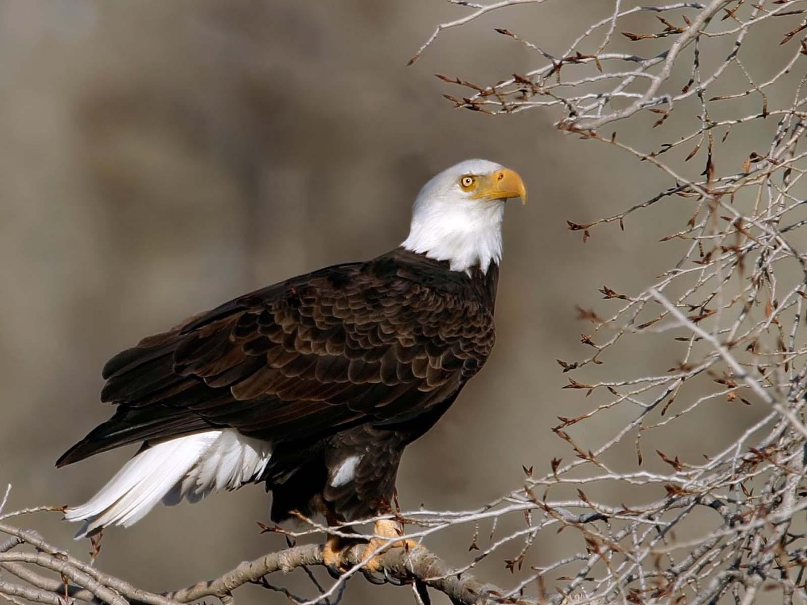 Hình nền Đại Bàng Eagles2