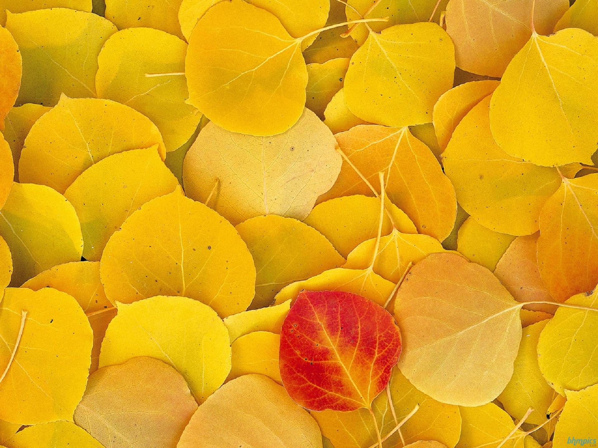 Hình nền mùa thu Aspenleaveseasternsierr