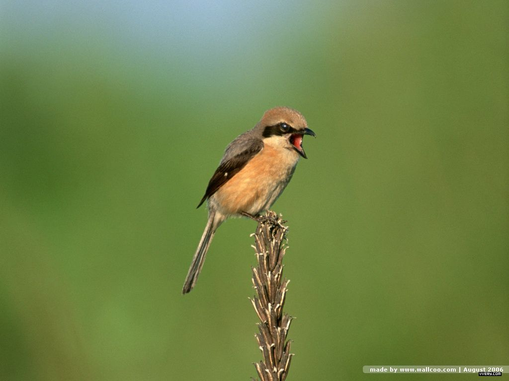 Hình nền Chim 07tinybird