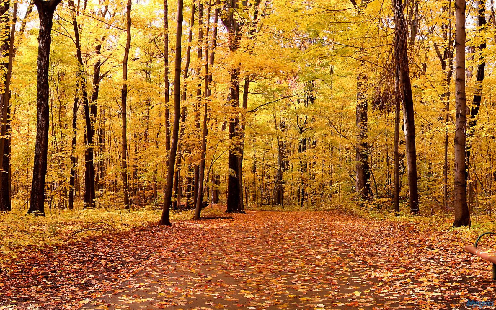 Hình nền mùa thu Yellowmapleleavesandtre