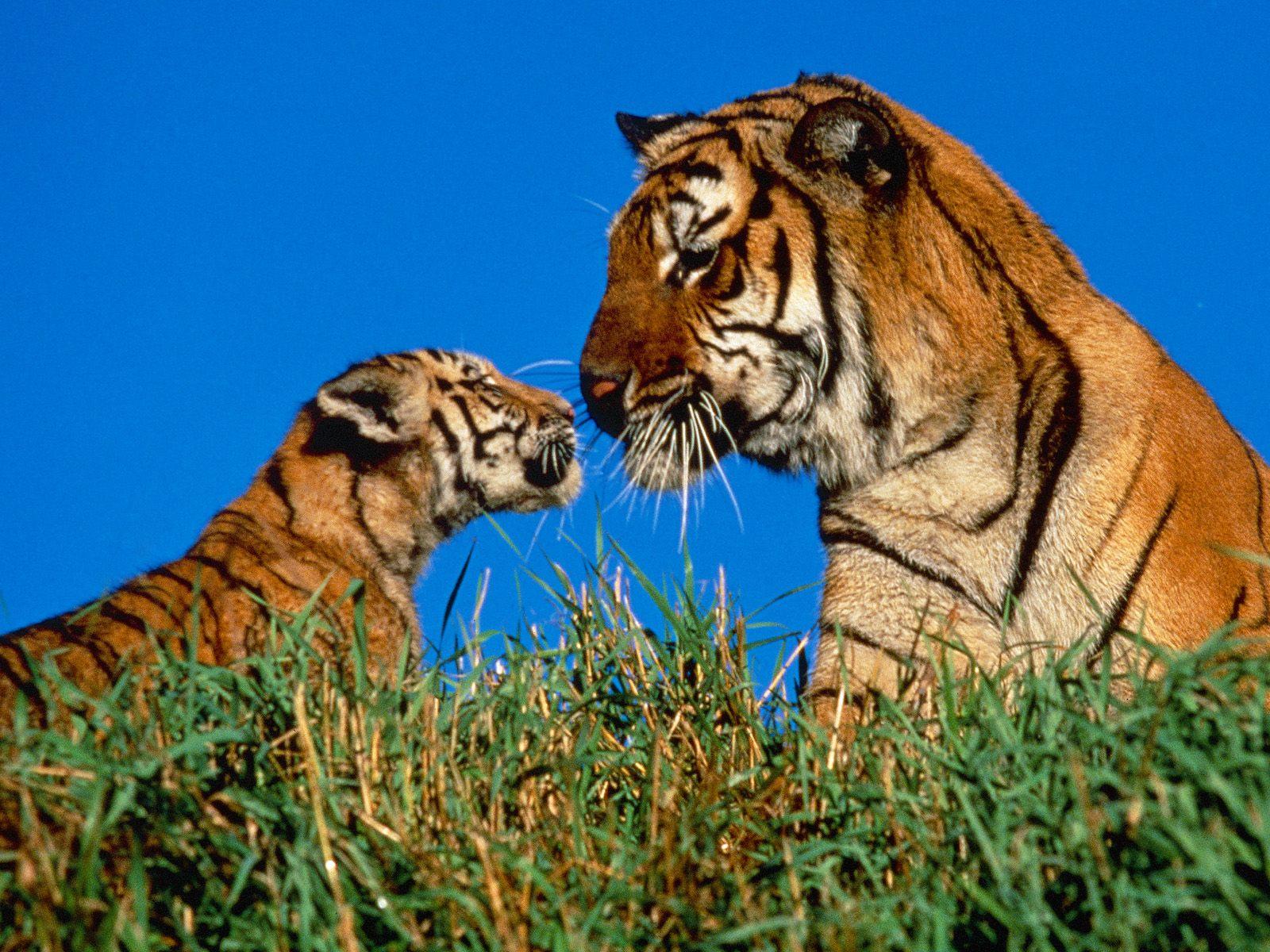 Hình nền cọp Tiger2q