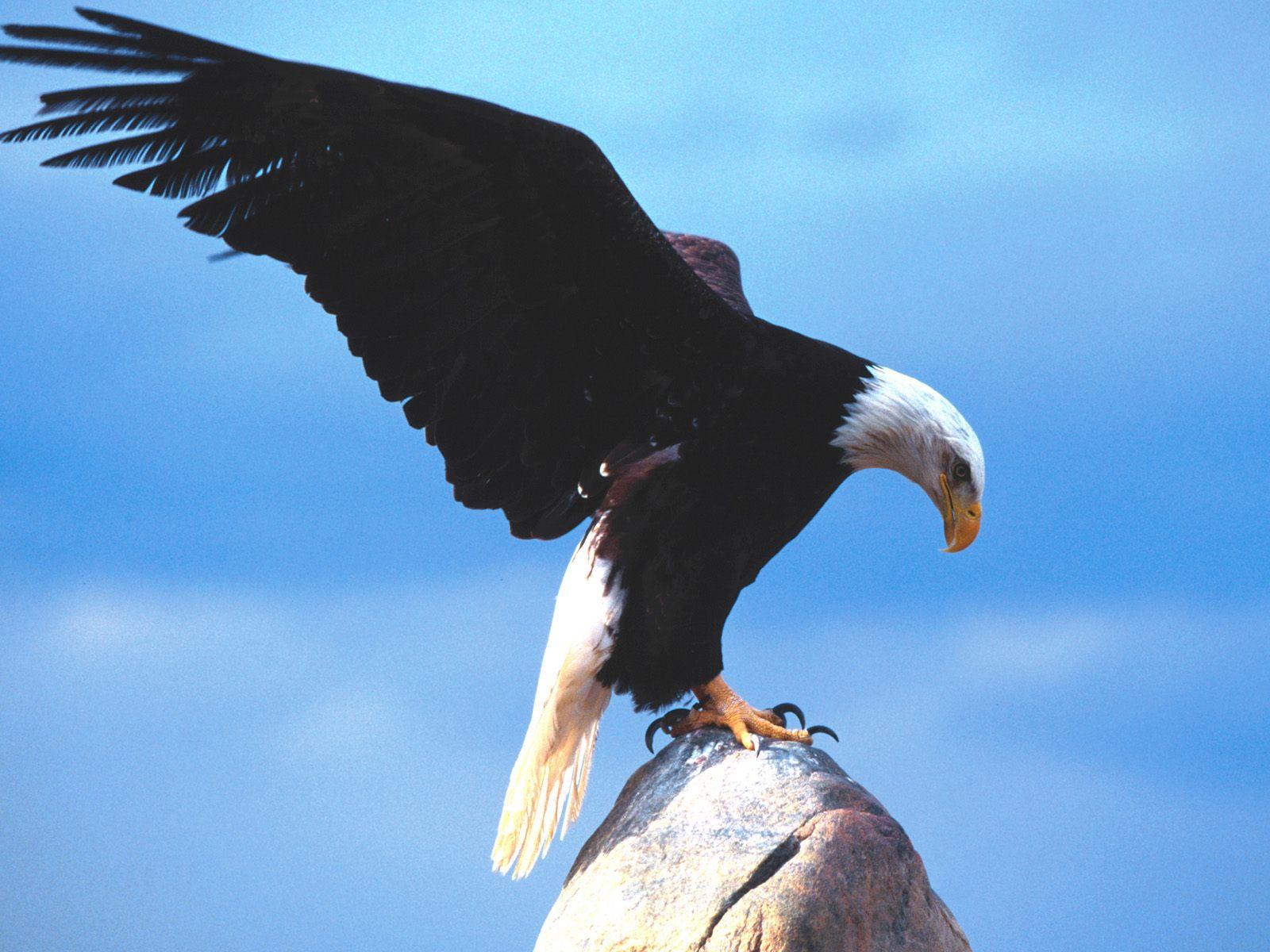 Hình nền Đại Bàng Eagles8
