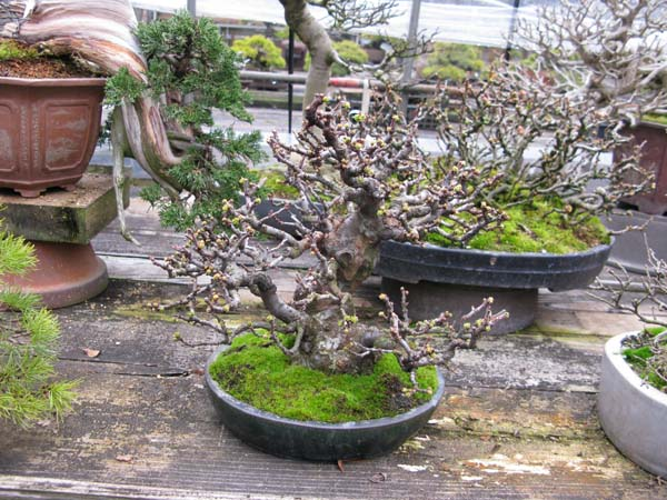 Centro bonsai tenerife en JAPÓN 2009-2010, IIIª Parte 107du
