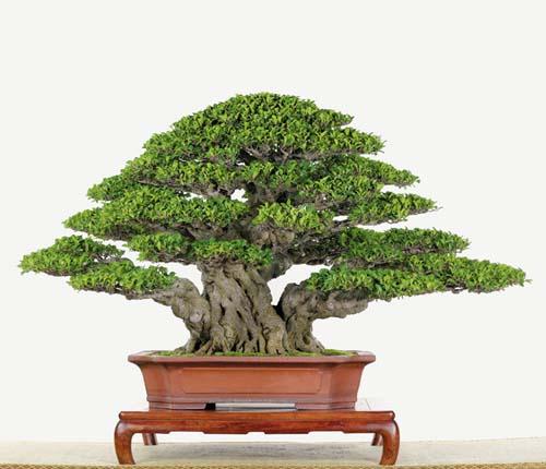 bonsai naturalista? P78h