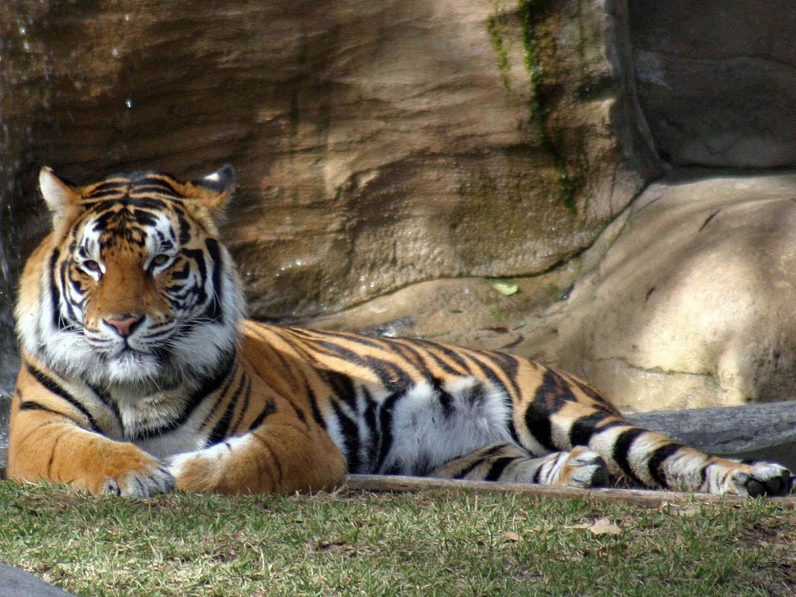 Hình nền cọp Tiger1y