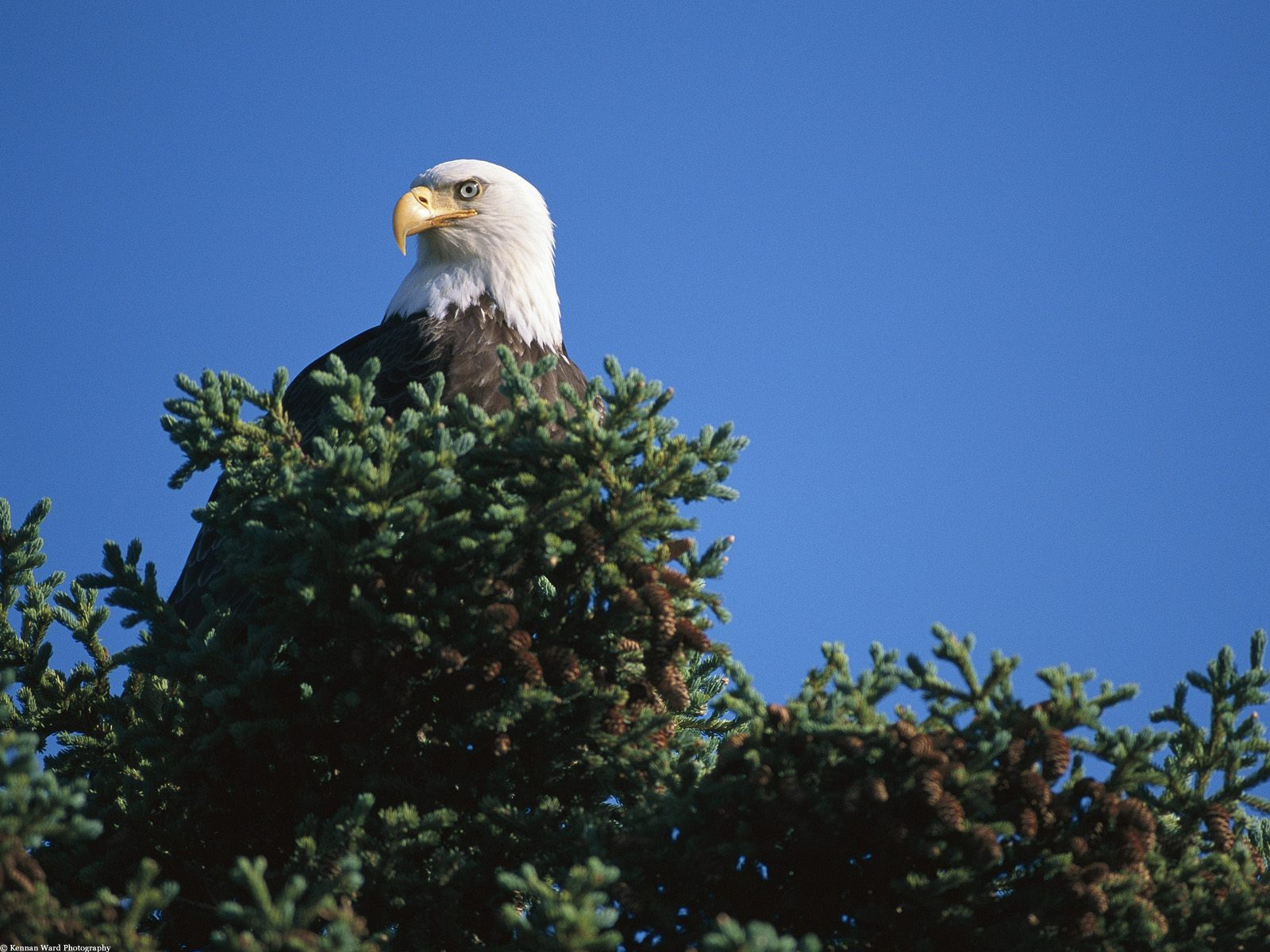 Hình nền Đại Bàng Eagles5