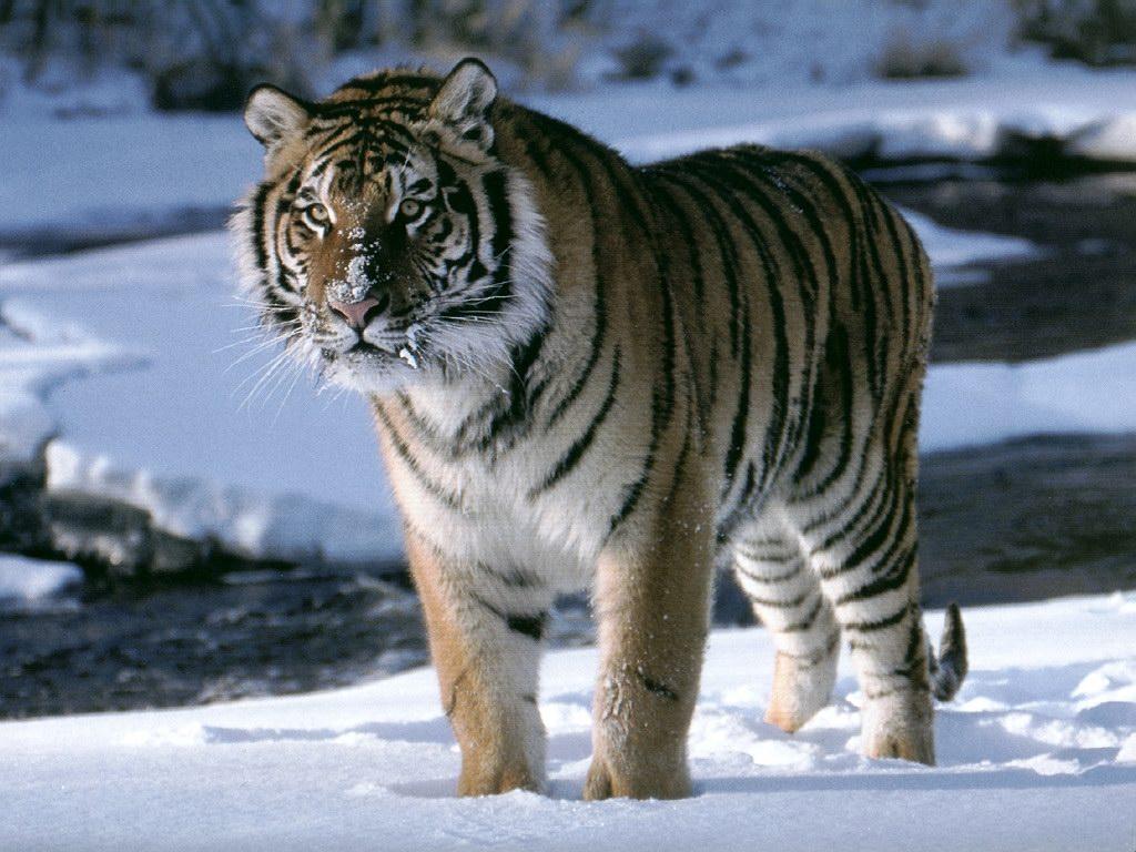 Hình nền cọp Tiger4b