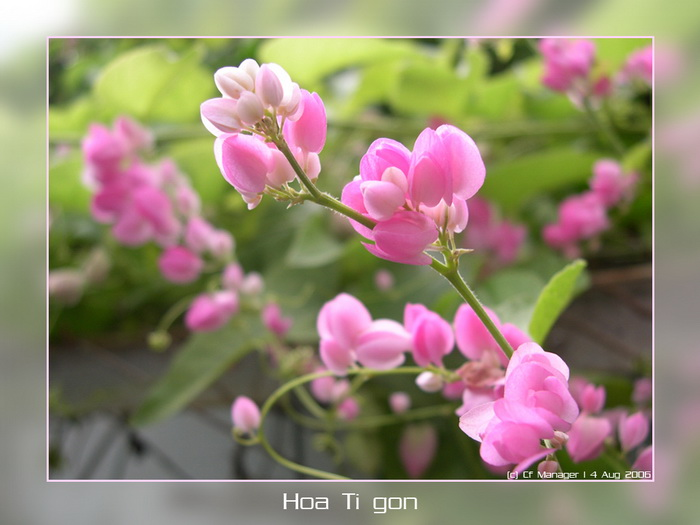 Hoa Ti Gôn Hoatigon14