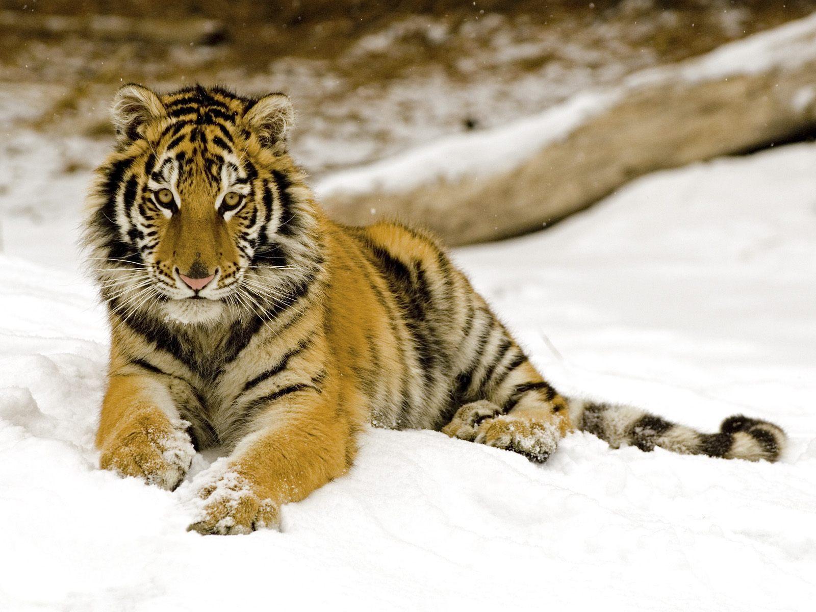 Hình nền cọp Tiger6x