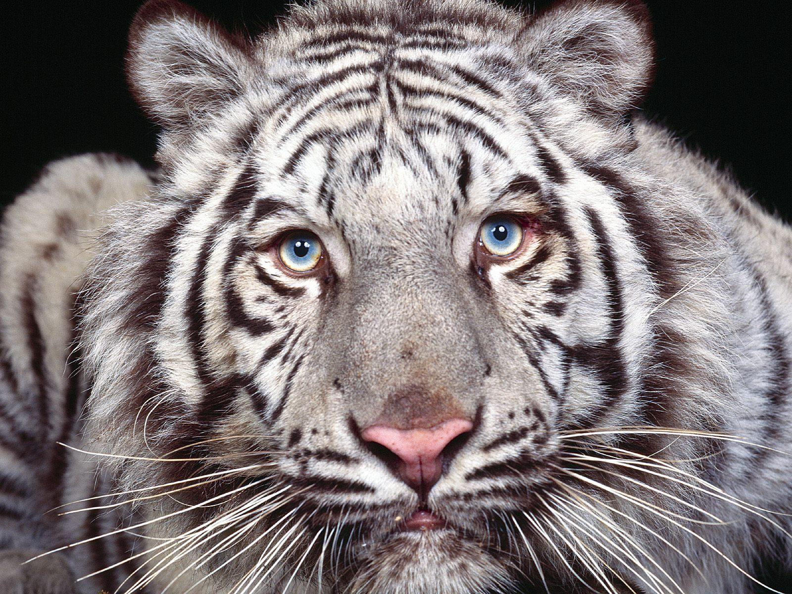 Hình nền cọp Tiger3h