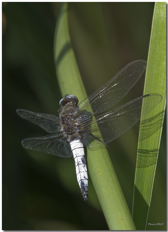Photos de la Rencontre Macro Papillons & Libellules du Sud 2011 (21 & 22 Mai) - Page 23 Jp060021024