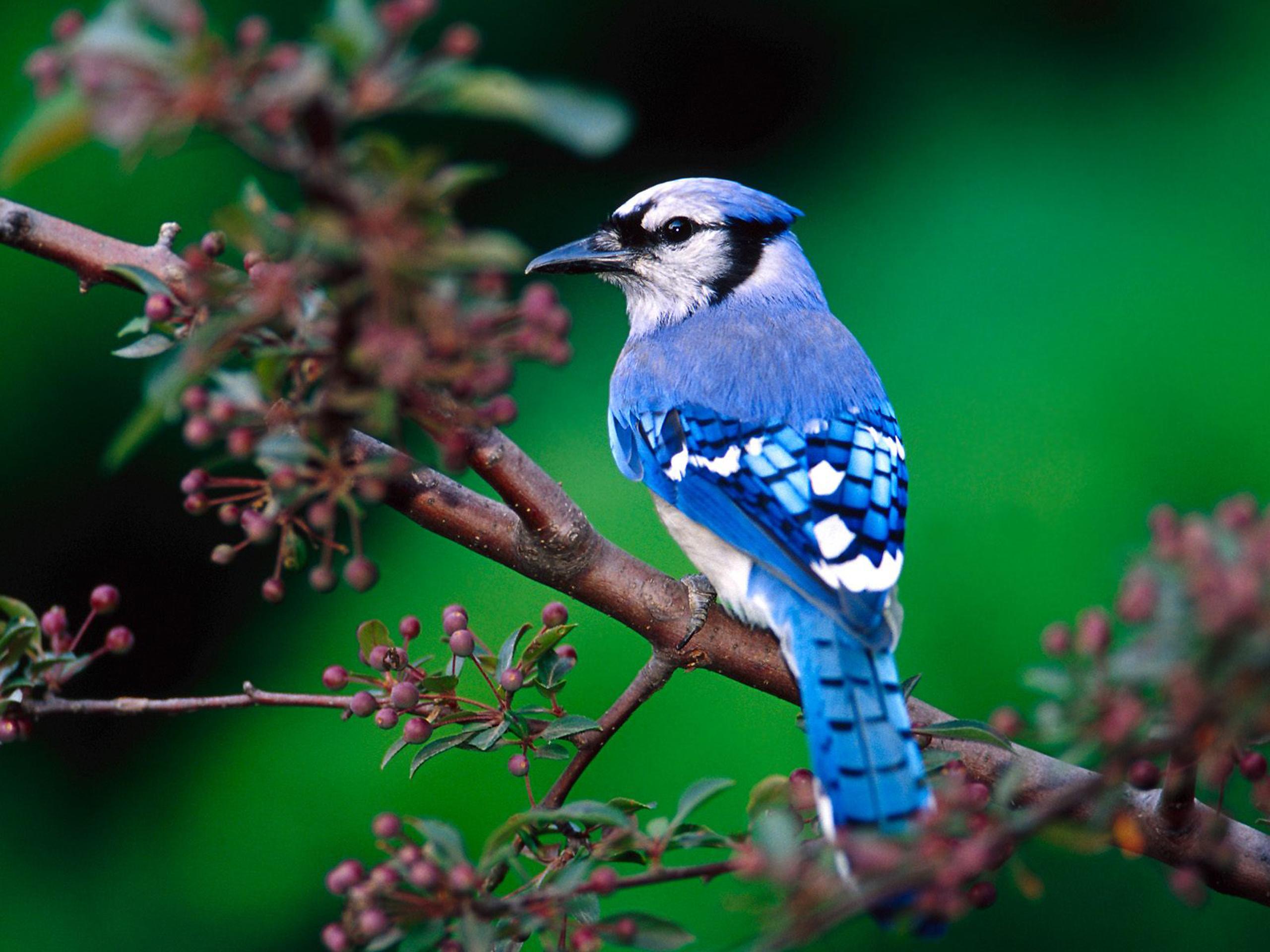 Hình nền Chim 14coloredbeautifulbird