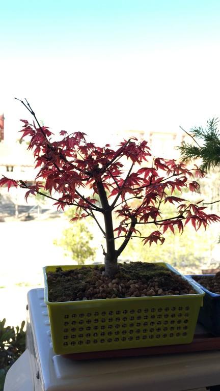 Acer Palmatum Deshojo IF28tf