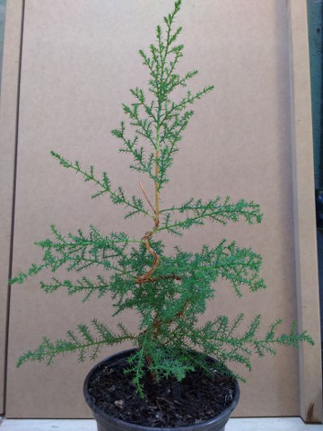 Cipres para bonsai Z1i1qI