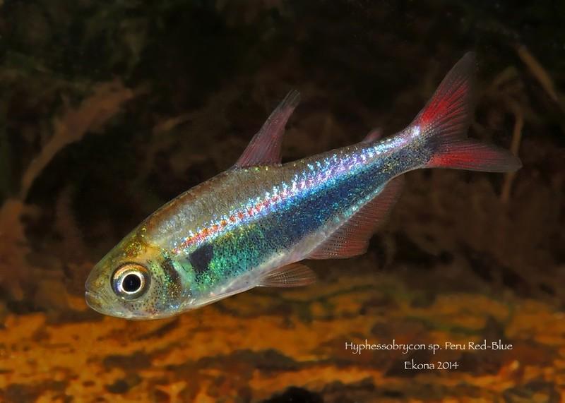 ¿Dónde puedo encontrar estos peces? Lru7