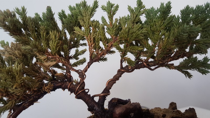 SOS junipero procumbens nana Zx7aa7