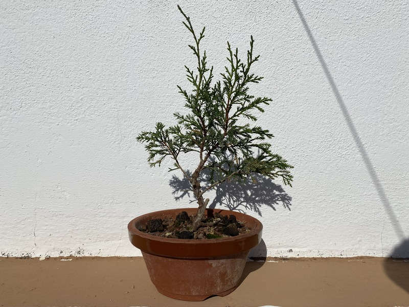 Plantón/Prebonsai Itoigawa OcnQ8a