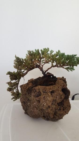 SOS junipero procumbens nana OS9HNA