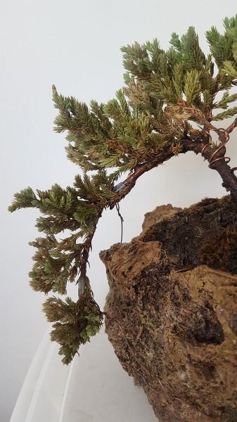 SOS junipero procumbens nana AMGpWU