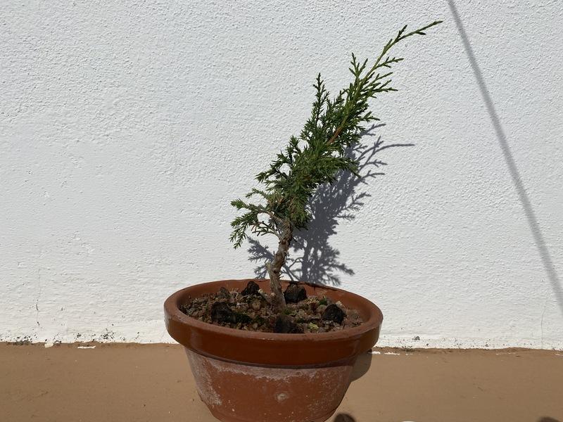 Plantón/Prebonsai Itoigawa 4V379m
