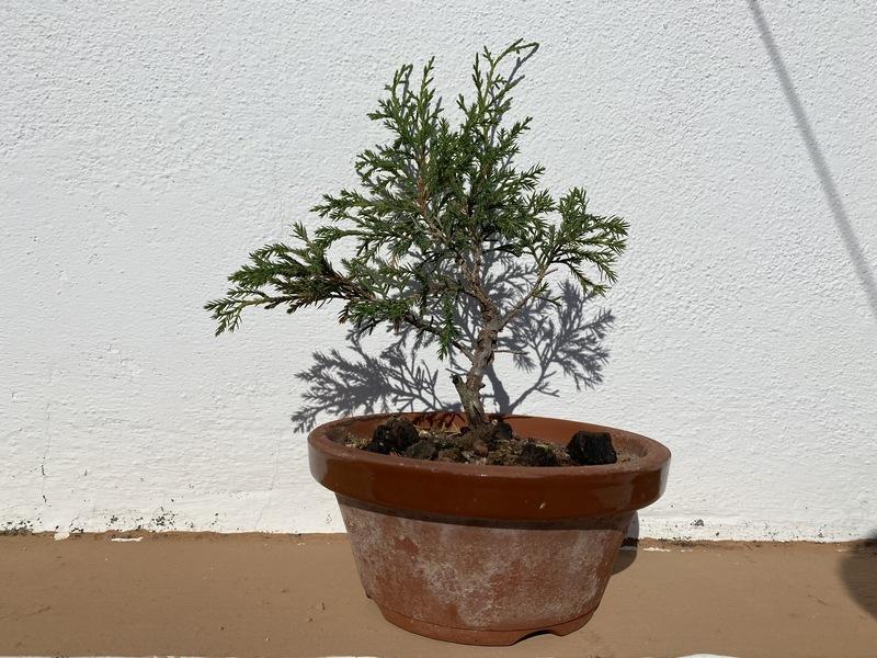 Plantón/Prebonsai Itoigawa LBZSyo