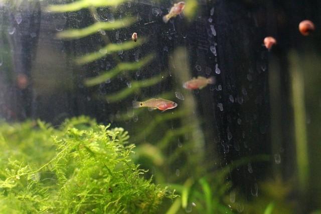 reproduction tateurndina ocellicauda GoP9GA