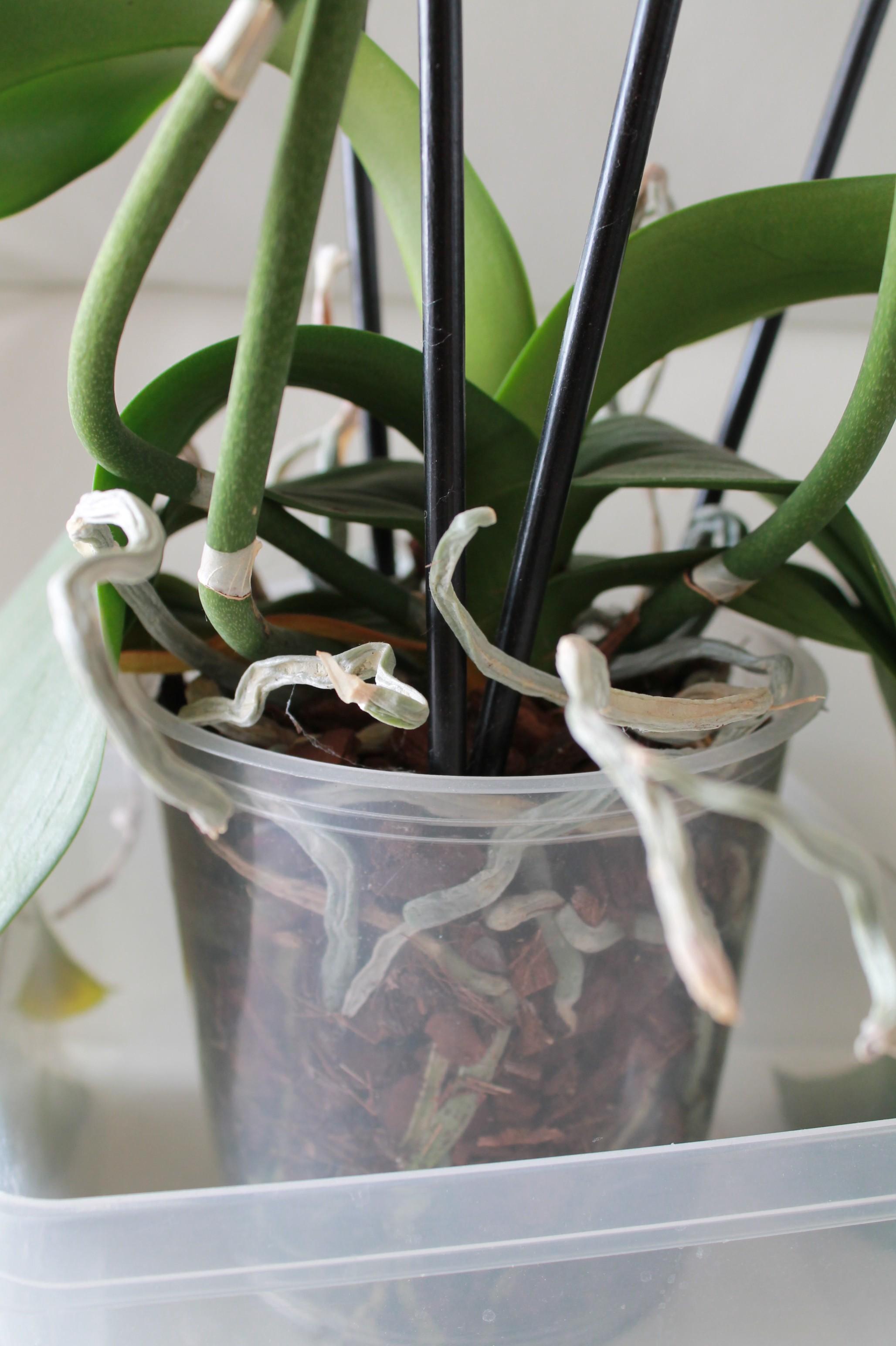 Etat général de mes orchidées  JGdUbR