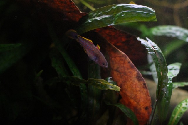 reproduction tateurndina ocellicauda NIezi1