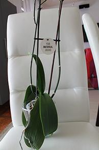 Etat général de mes orchidées  BPm51A