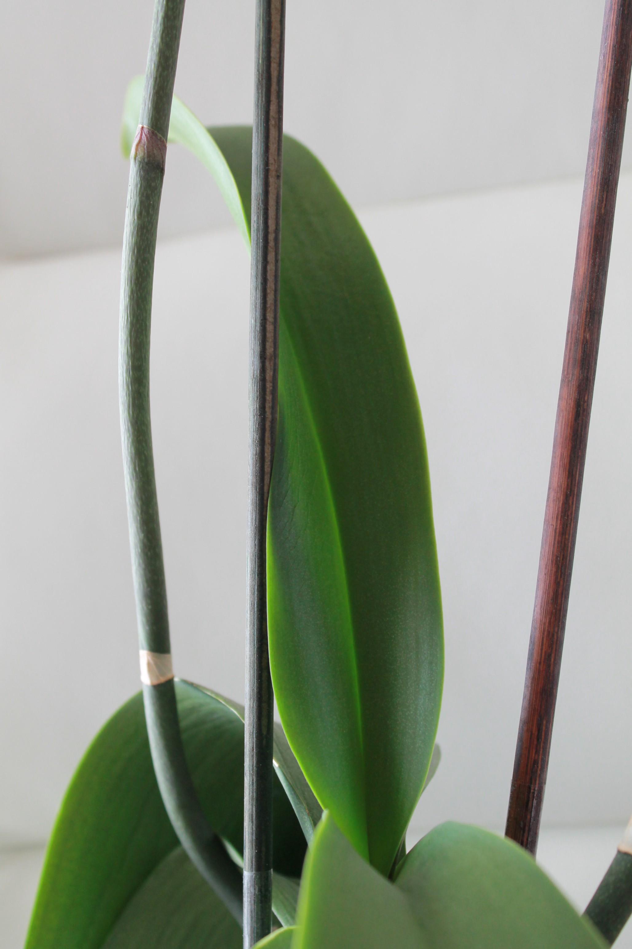 Etat général de mes orchidées  LHPxYk