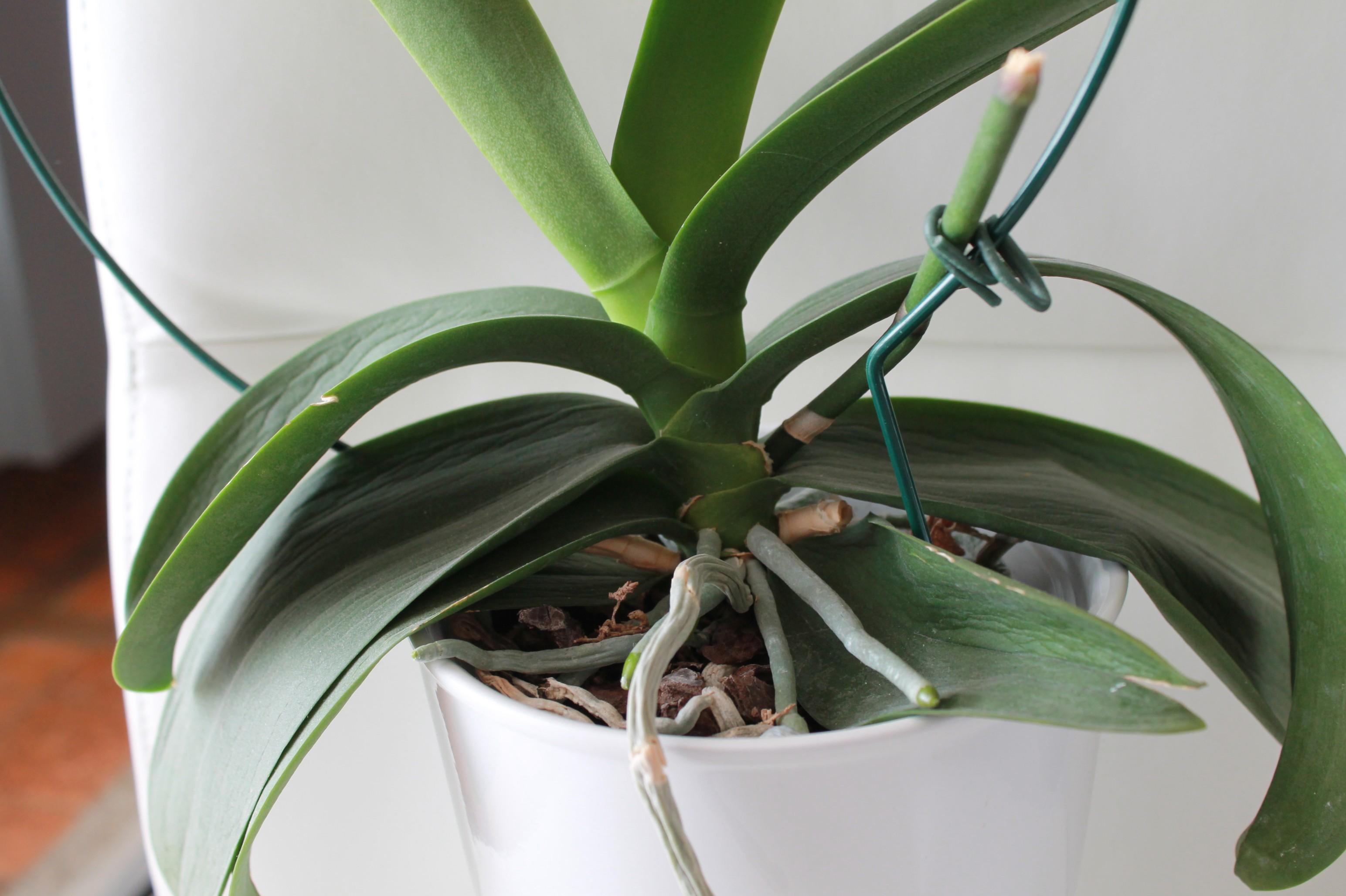 Etat général de mes orchidées  Lh2ZHG