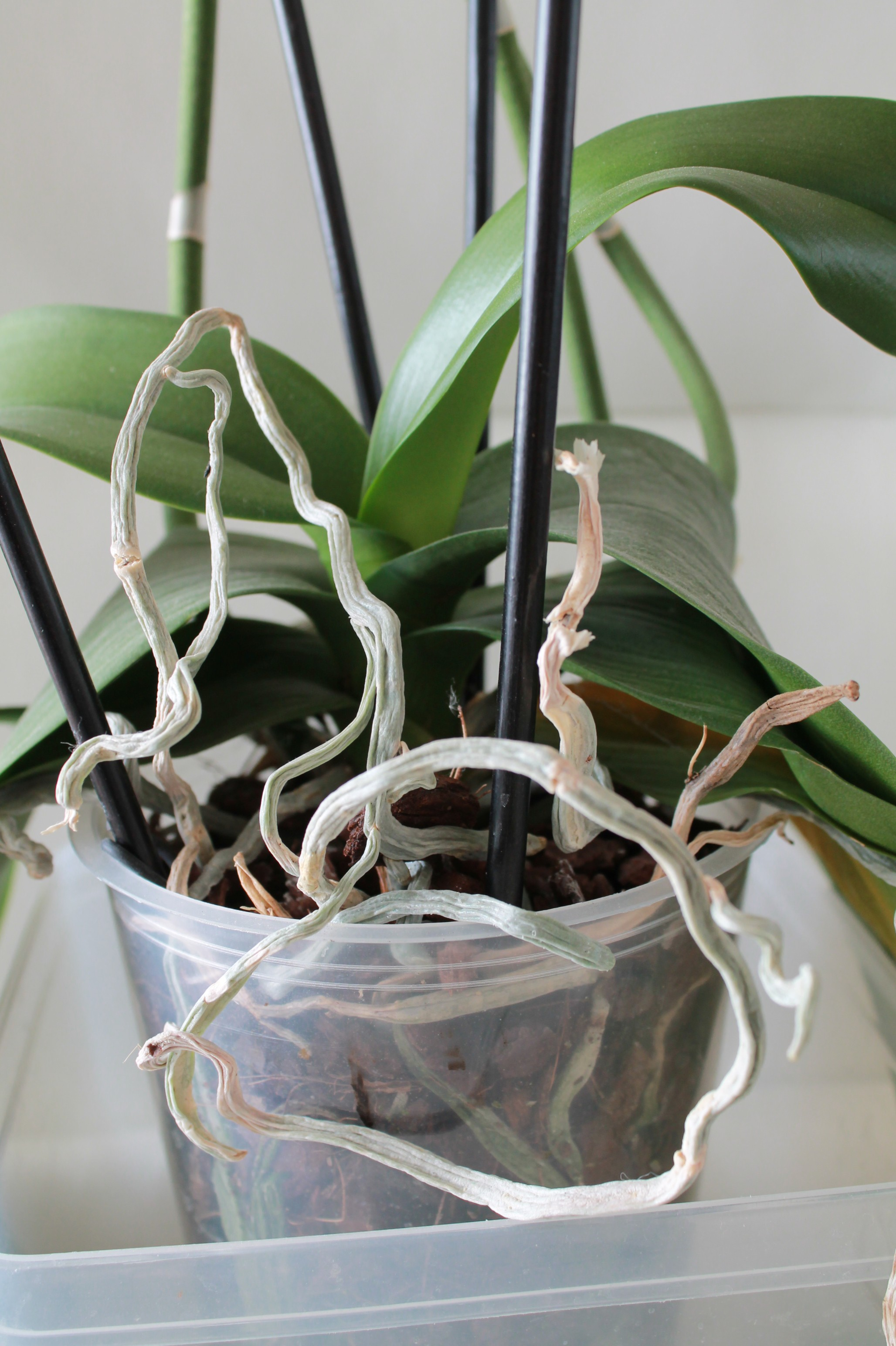 Etat général de mes orchidées  VPhSGs