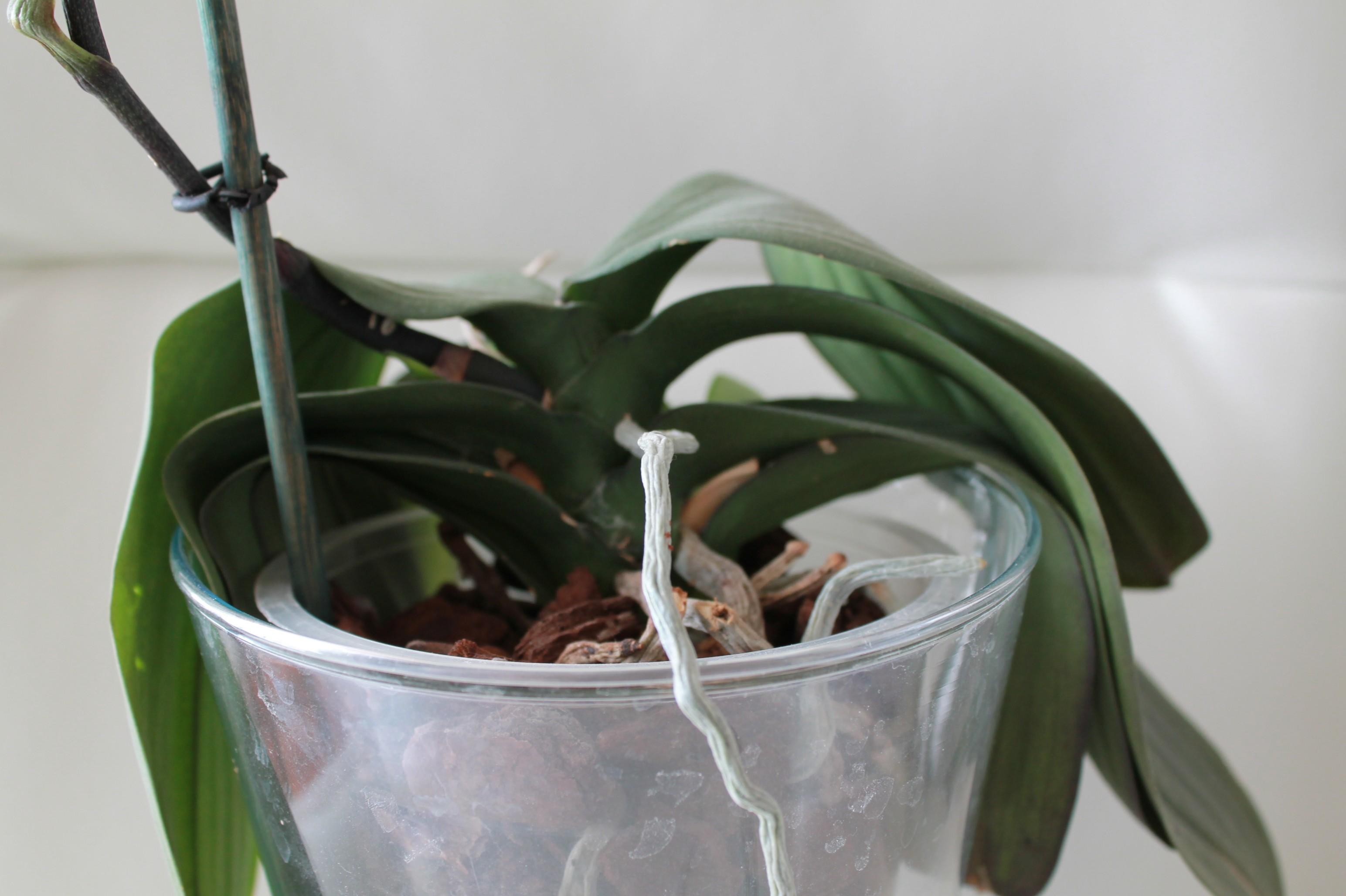 Etat général de mes orchidées  1Ewy81