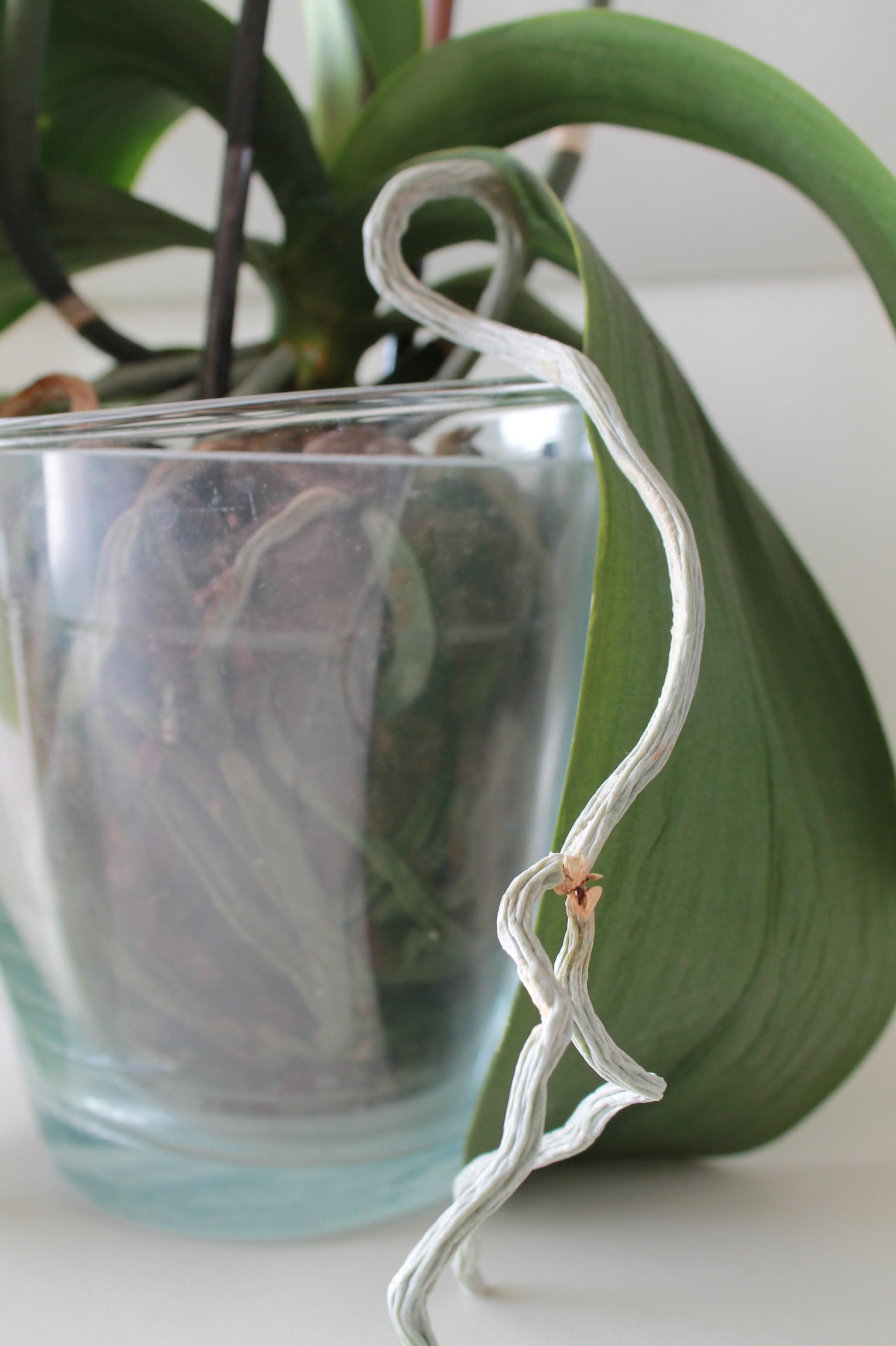 Etat général de mes orchidées  2Nj1F0