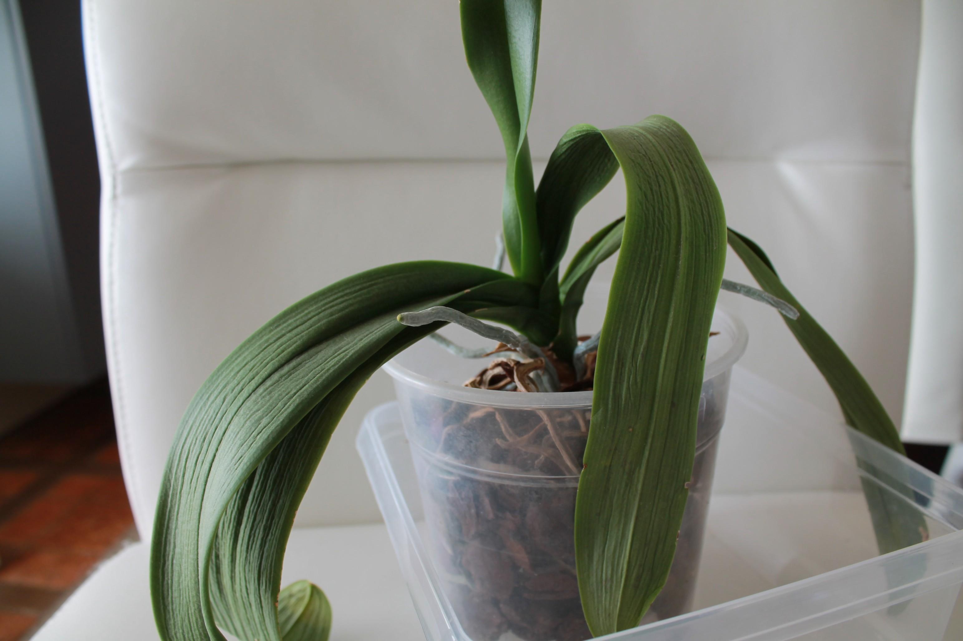 Etat général de mes orchidées  QCUFpq