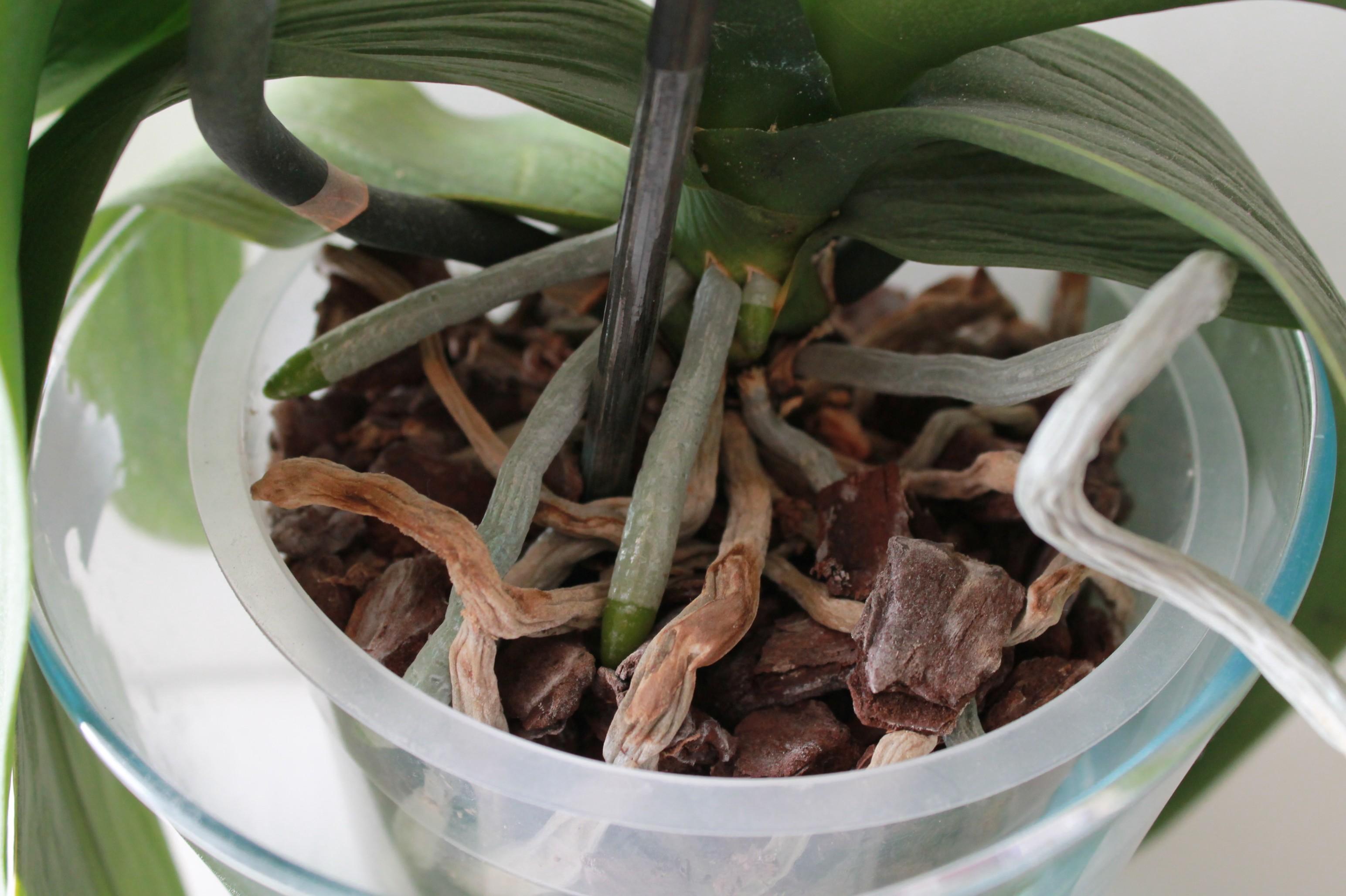 Etat général de mes orchidées  QJQU8U