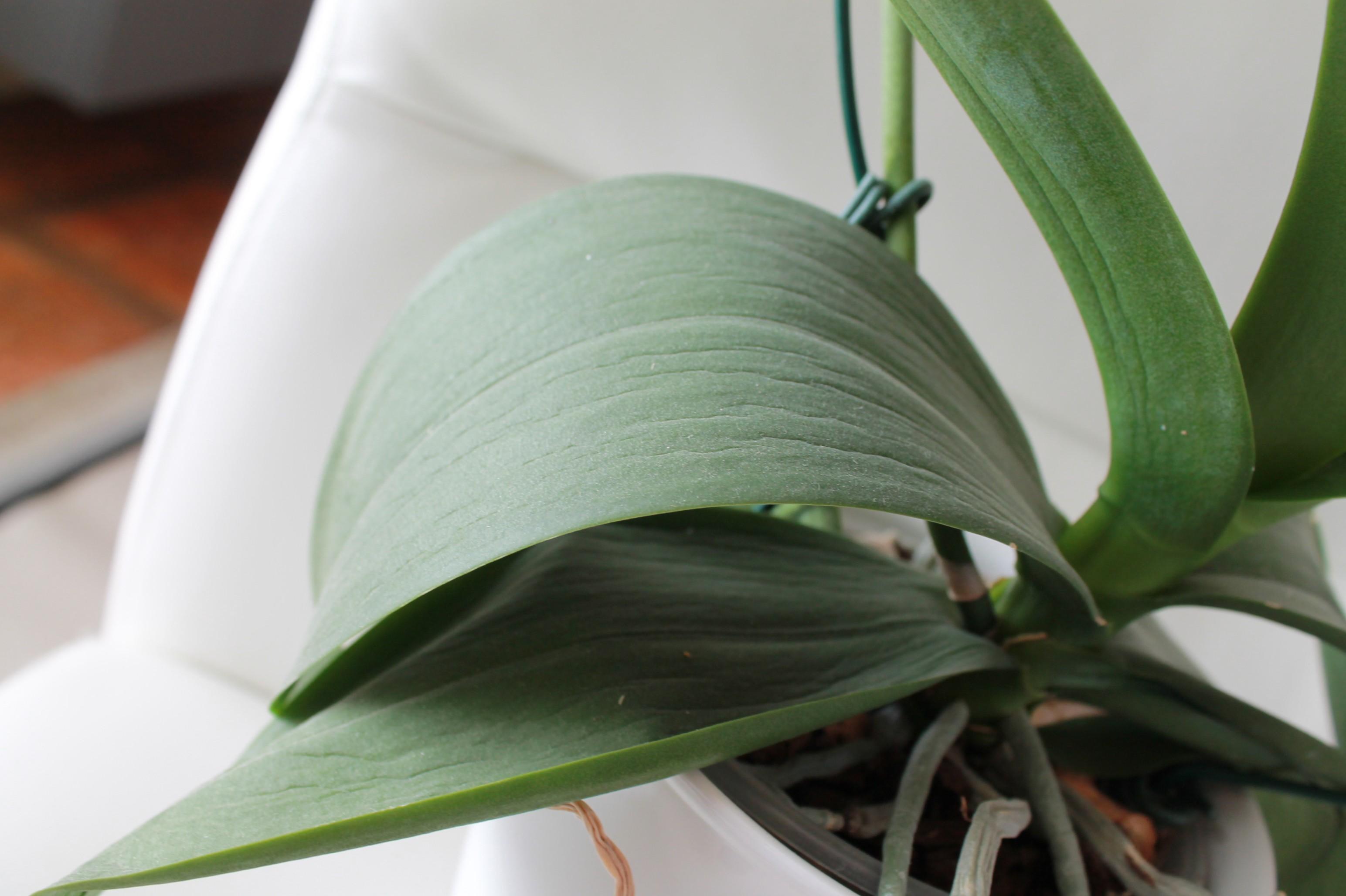 Etat général de mes orchidées  FKKCpj